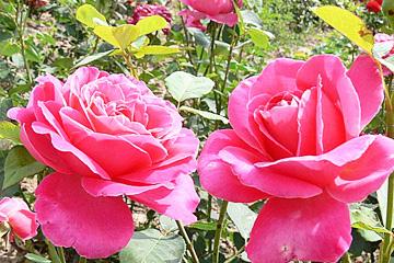 JANSAD - róże