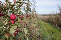 Szkółka roślin owocowych i ozdobnych JAN-SAD