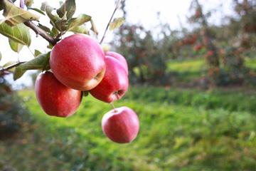JANSAD - Drzewa ikrzewy owocowe